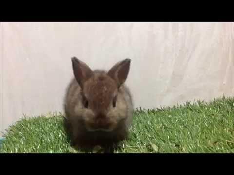 กระต่ายแคระ (Netherland Dwarf-ND) ZJ001-4 Allawa Rabbit Farm