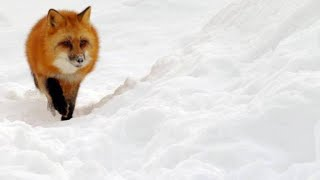 Red Fox Hilariously Pounces Headfirst Into Snow