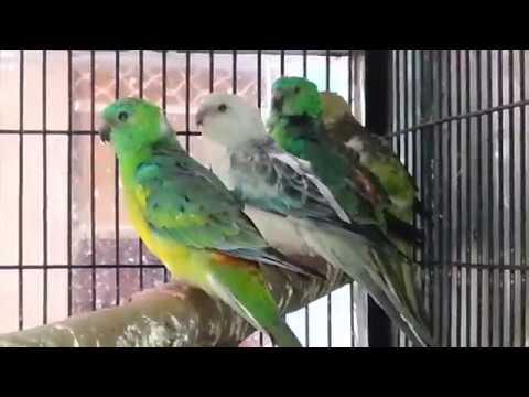 Olx Lahore Birds