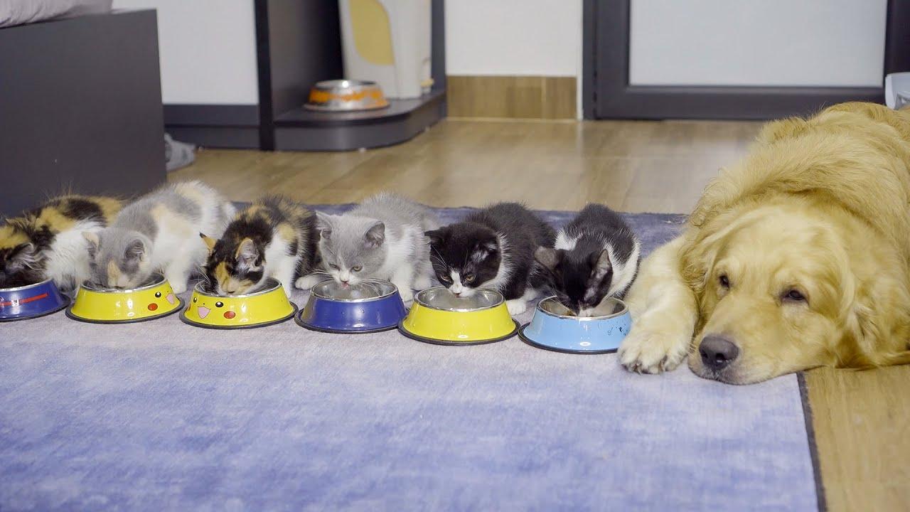 警戒心が強かった野良子猫、愛情を注がれ甘えん坊になった・保護子猫と仲良くしたいゴールデンレトリバー