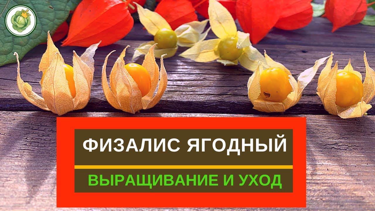 ФИЗАЛИС ЯГОДНЫЙ - как вырастить, ухаживать, сбор урожая