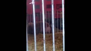 Цирк животные из Африки