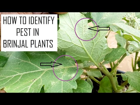 How to identify pest in Brinjal in Terrace Gardening / Eggplants Farming at Home / Home Gardening