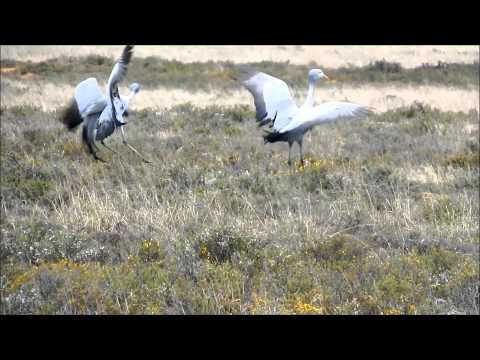 """The Blue Crane - so charming yet listed as a """"Vulnerable Species"""""""