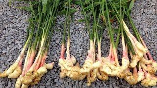 Супер корень.  Как вырастить имбирь. Имбирь от 10 болезней.