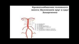 Кровоснабжение головного мозга  Виллизиев круг