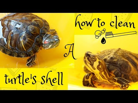 How to clean a turtle's shell!
