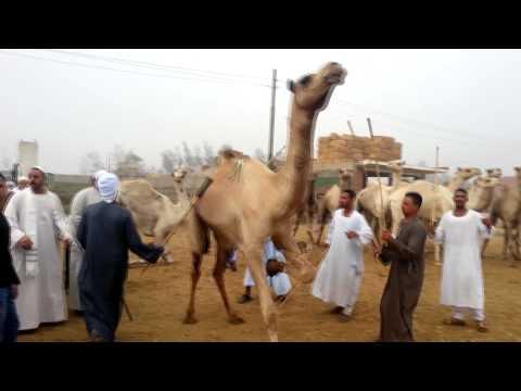 Birqash Camel Market (Souq al-Gamaal), Cairo Egypt - click 1080p HD
