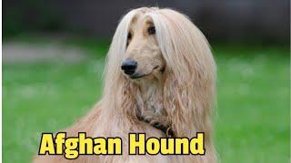 Afghan Hound Dog Breed Complete Information