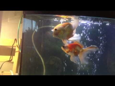 Swim Bladder Disease