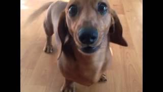 Cute Dachshund Puppy Whining!