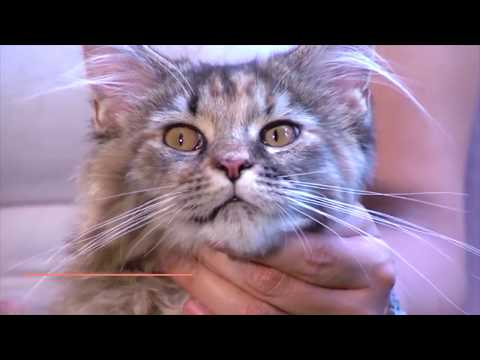 Everything You Need to Know About MAINE COON – Characteristics, Character, and Care  Mykitten.in