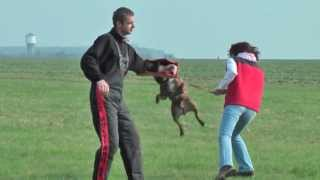 Staffordshire Bull Terrier - Protection Work (bite Work)