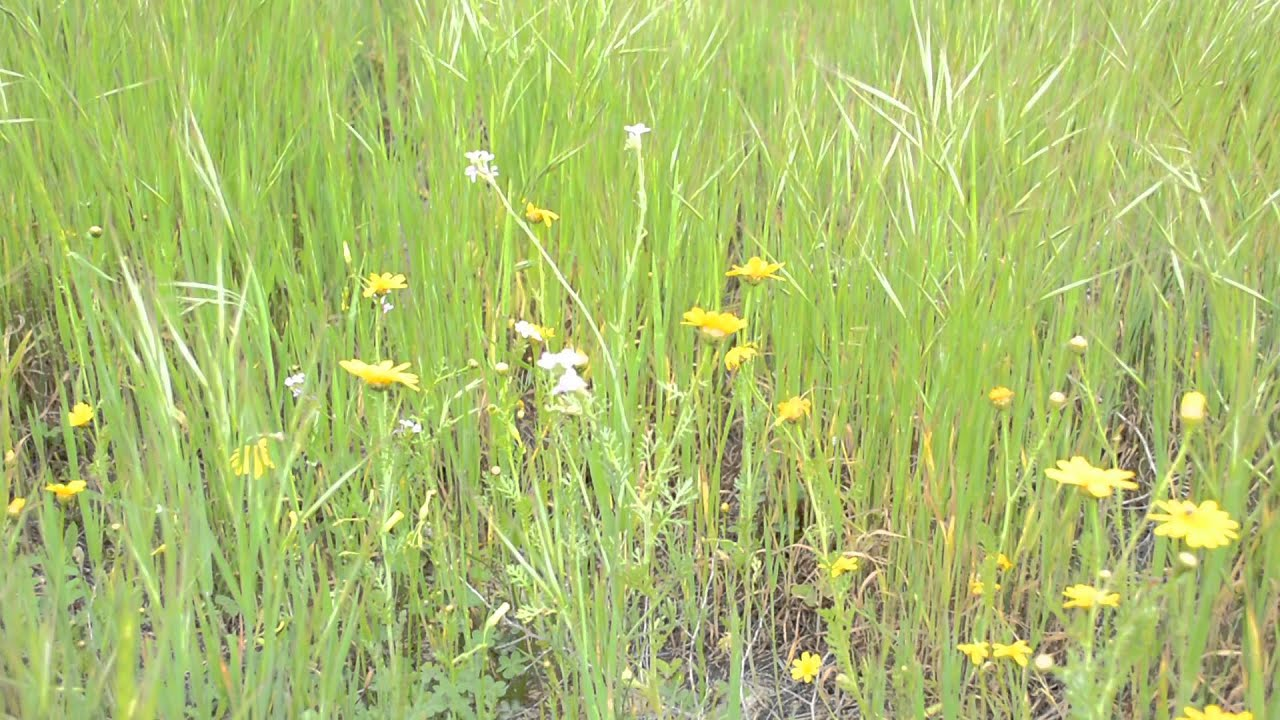 grass field background. Video Of Moving Grass \u0026 Field Flowers With Background Sounds Nature - YouTube P