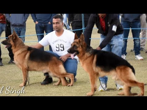 German Shephard Dog Show