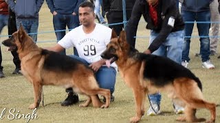 German Shephard Dog Show