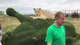Герда на быке! Lioness on the bull !