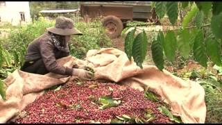 Vietnam fairtrade coffee - sản xuất và chế biến cà phê Thương mại công bằng