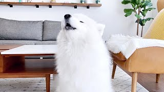 [ENG Sub] reasons why my dog howls and types (feat. samoyed howling compilation)