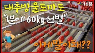 대추방울토마토선별기 사…