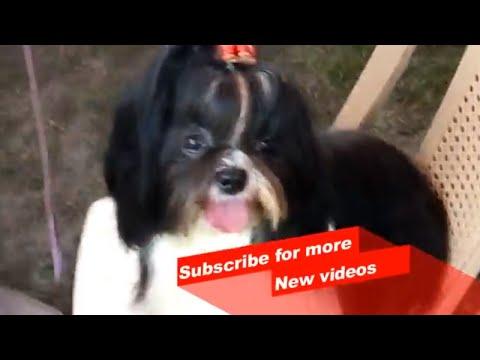 Wow ! Most Amazing dog breeds worldwide  | Lhasa Apso |