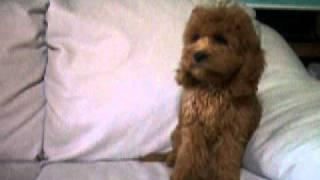 PAPPY ROOMのMIX犬 コッカプーのご紹介! http://pappy.ocn...