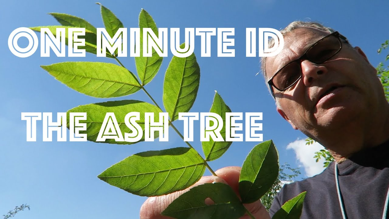 How Do I Identify An Ash Tree Vr To Sebastian One Minute Id Youtube