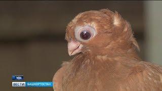 Любовь и голуби: Уфимец более 50 лет разводит редких птиц