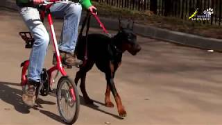 Доберман пинчер - особенности воспитания и дрессировки собак этой породы