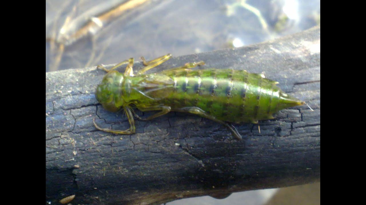 Головастик и личинка стрекозы из семейства Коромысловые.