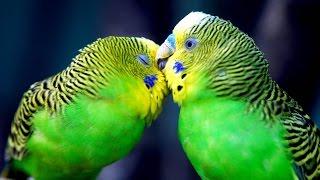 Видео животные , птицы ! Попугай Кеша бесится в клетке !