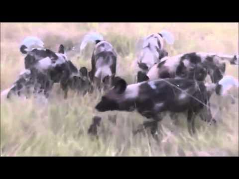 ハイエナが野犬の集団に襲われて引き裂かれる - YouTube