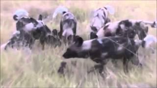 ハイエナが野犬の集団に襲われて引き裂かれる 【関連動画】 【ω閲覧注意...