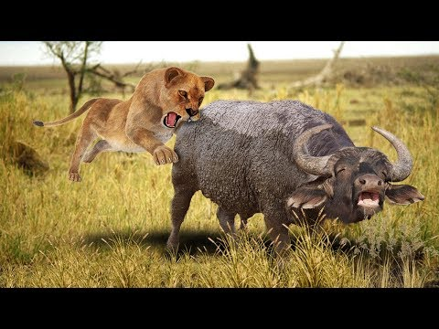Top 5 Lion Hunting Other Animals – Included Buffalo, Giraffe, Warthog, Zebra