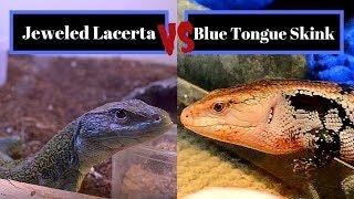 Сцинк с синим языком против украшенной драгоценностями Lacerta  Лучшее испытание для начинающих ящеров