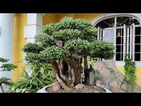 VLOG #11: WAYS ON HOW TO CARE HUGE STREBLUS ASPER (KALYOS) BONSAI