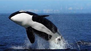 Thế giới động vật   Cá voi sát thủ kẻ săn mồi đáng sợ của đại dương