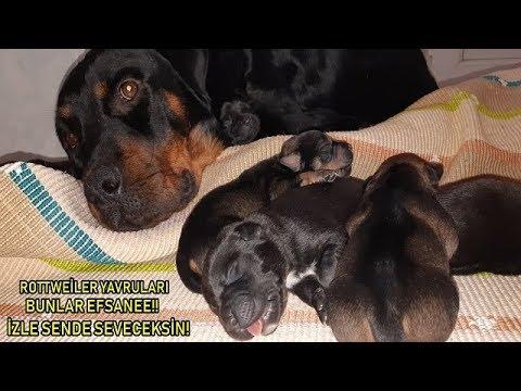 Rottweiler Marla Doğum Yaptı - 8 Tane Yavru Doğdu Bunlar Birer EFSANE!!!!! İzle Anlayacaksın