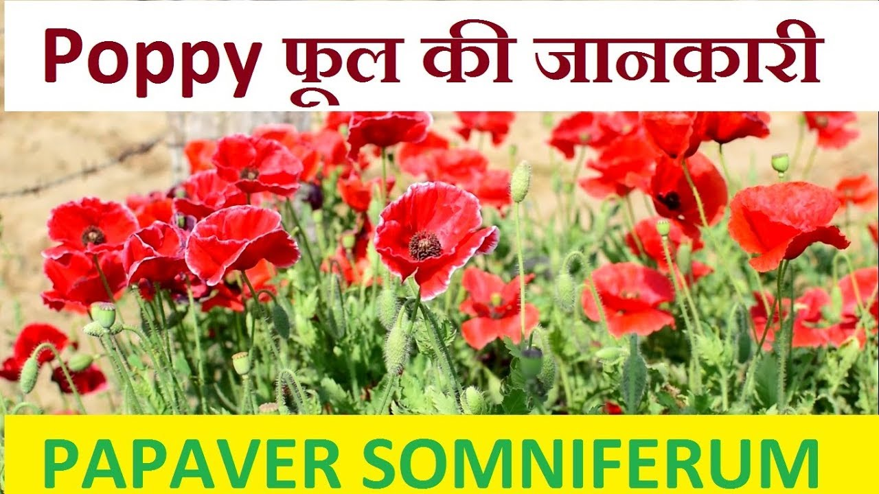 Poppy flower complete information about flowers and seeds papaver poppy flower complete information about flowers and seeds papaver somniferum mightylinksfo