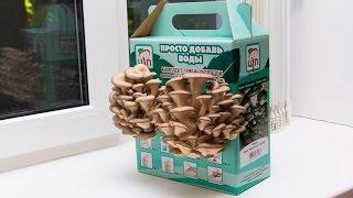 видео Домашняя грибница вешенки