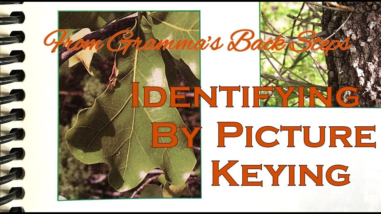 Download From Gramma's Back Steps - Identifying a Tree with Pictures