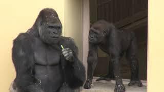 シャバーニ家族 173 Shabani family gorilla