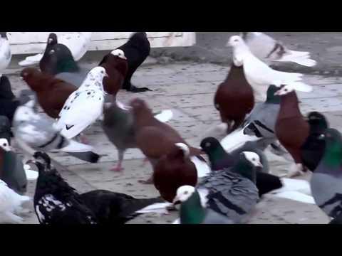 Macedonian Pigeons 10 - Prytanis