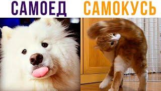 САМОКУСЬ – НОВАЯ ПОРОДА КОТОВ! Приколы с котами | Мемозг #546