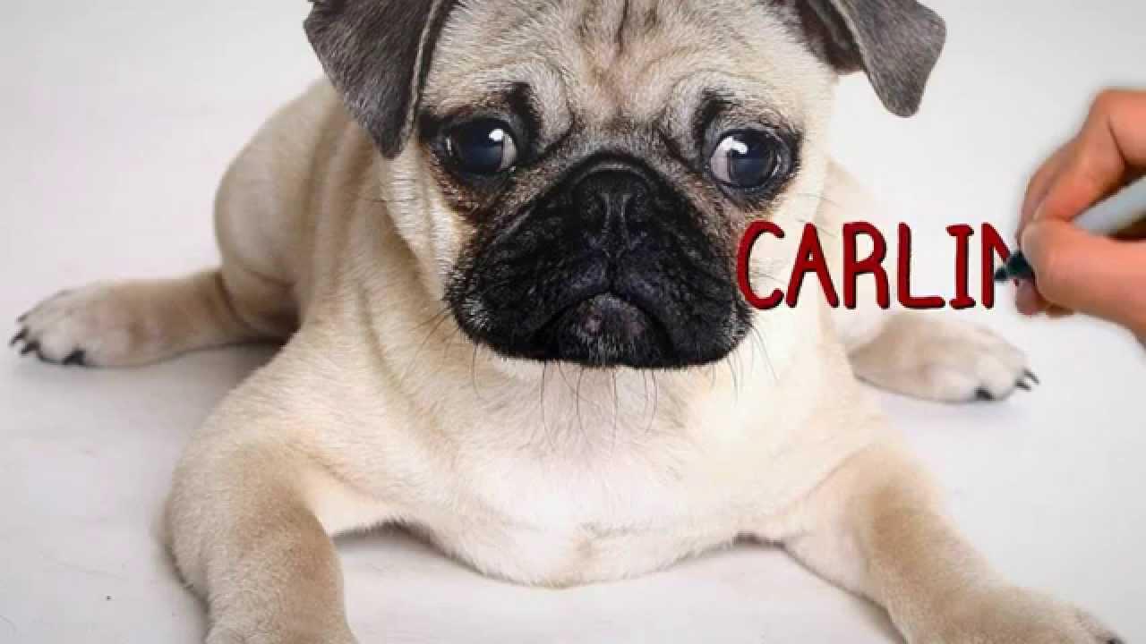 Fotos de perros pug carlino 52