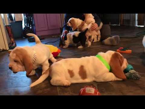 Basset Hound Puppies running amuck 😁