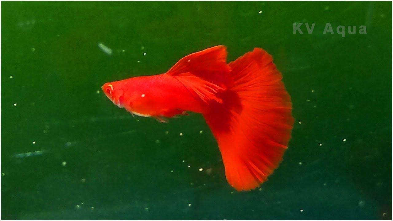 Albino Full Red Guppy Mega Shark Dorsal - YouTube