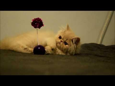 Exotic longhair kitten