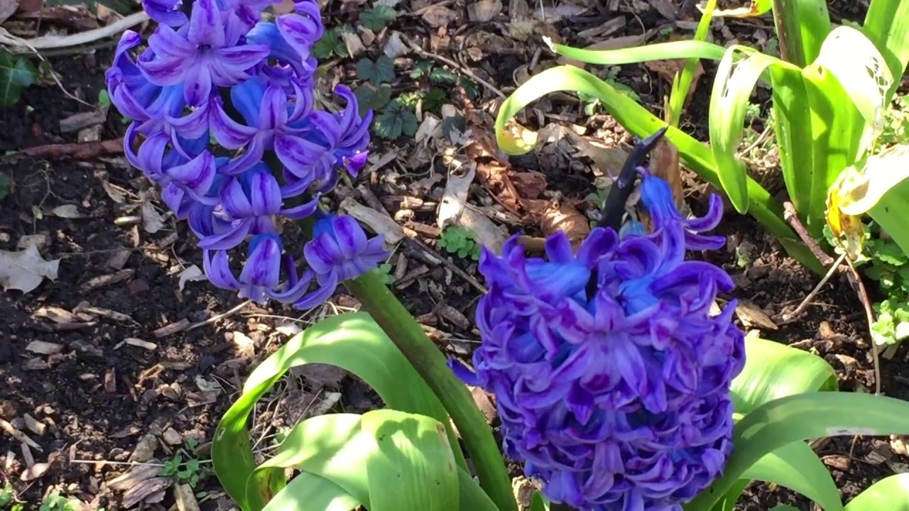 British Spring Blossoms Clusters Of Blue Hyacinth Flowers Spring