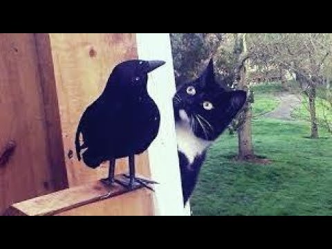 Cat Playing With Birds - Birds and Cats Playing Video Cat and Crow
